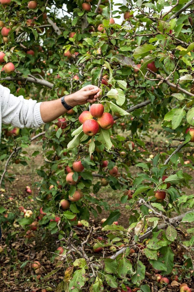 Apple Picking In Sydney