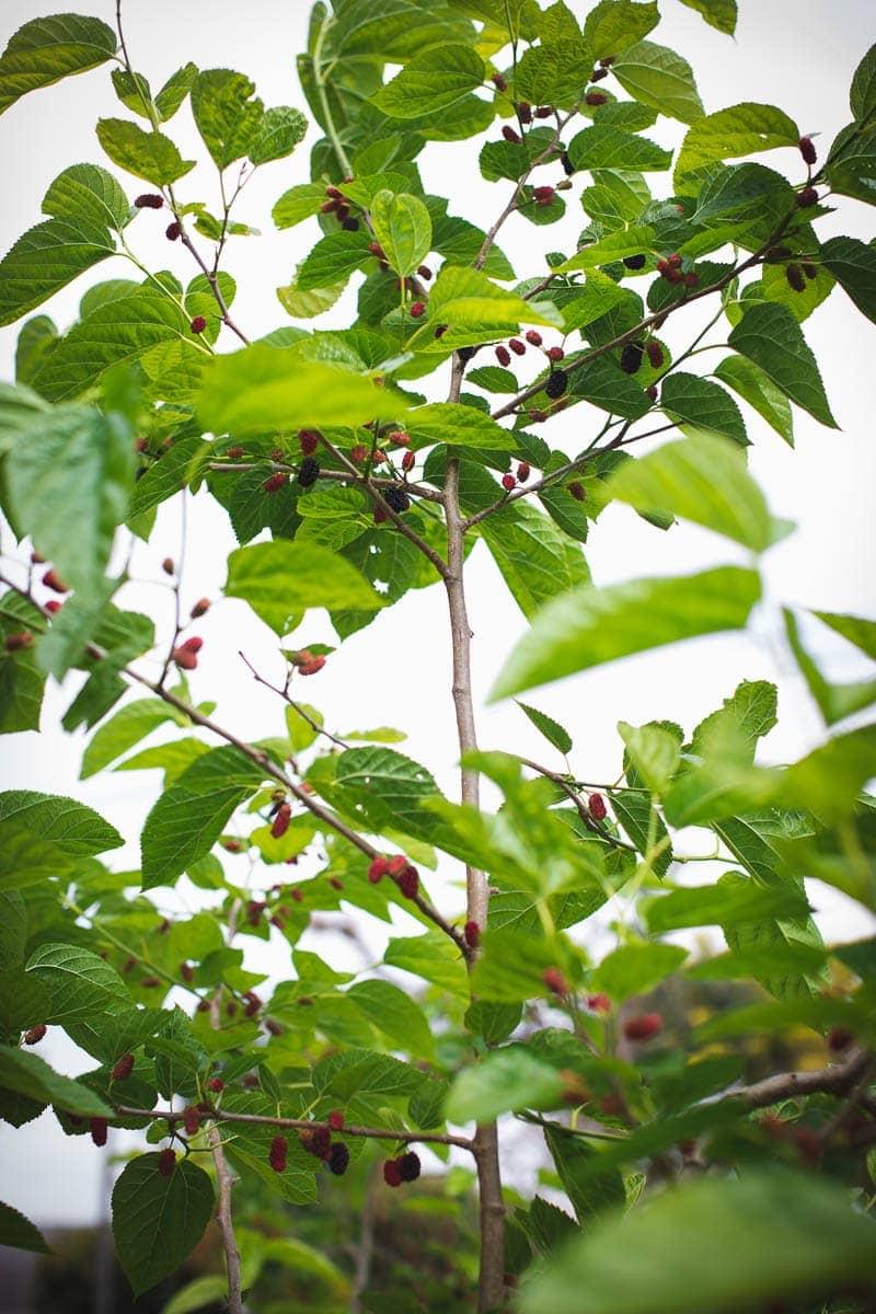 Fresh Mulberries - Cook Republic