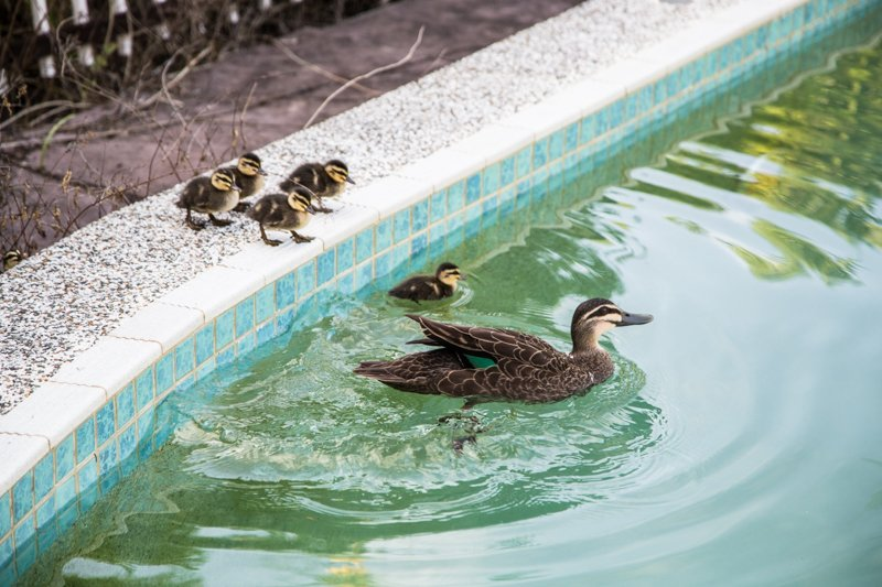 Ducklings - Photo, Sneh Roy