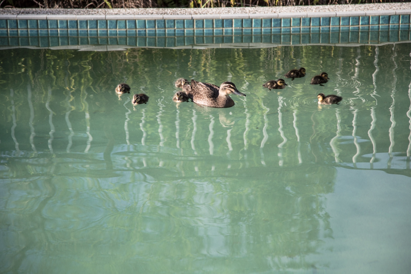 Ducklings - Cook Republic