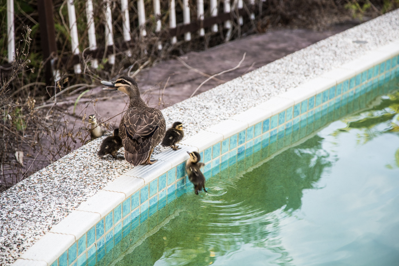 Wild Bush Duck & Ducklings - Cook Republic